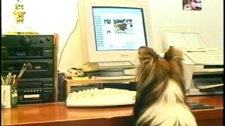 Hilarious Sheltie - Smartest Dog In The World - On His Day Off!