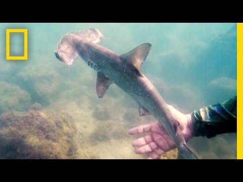 See a Hidden Hammerhead Shark Nursery in the Galapagos | National Geographic