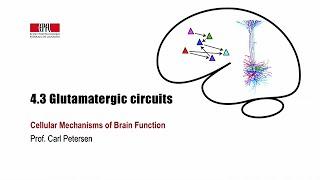 4.3 Glutamatergic circuits