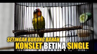 Download lagu Setingan Burung Bahan KONSLET Betina SINGLE