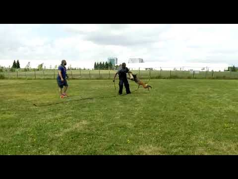 Protection Dog Training with Skyy - TEAM-K9 south trinidad k-9 club South Trinidad K-9 Club 2020 Workshop 0