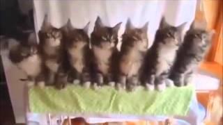 Котята танцуют - очень смешно!