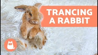 Trancing a rabbit – Why you should never do it thumbnail