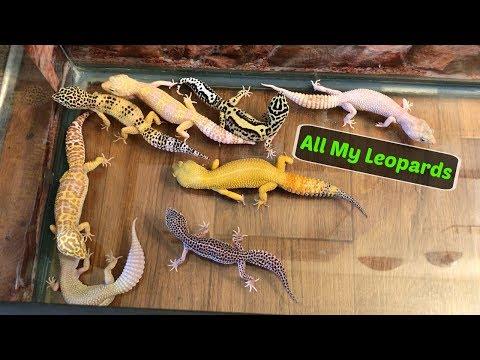 Leopard Geckos Roaming My Room