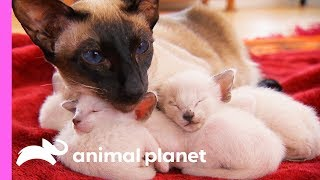 Protective FirstTime Mom Looks After Her Curious Siamese Kittens | Too Cute!