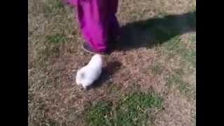 Pomeranian Cute Indian