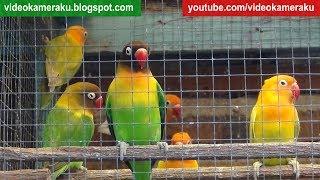 1 Hour Lovebird Sounds Aviary Series V6 - High Quality Audio Live Recording