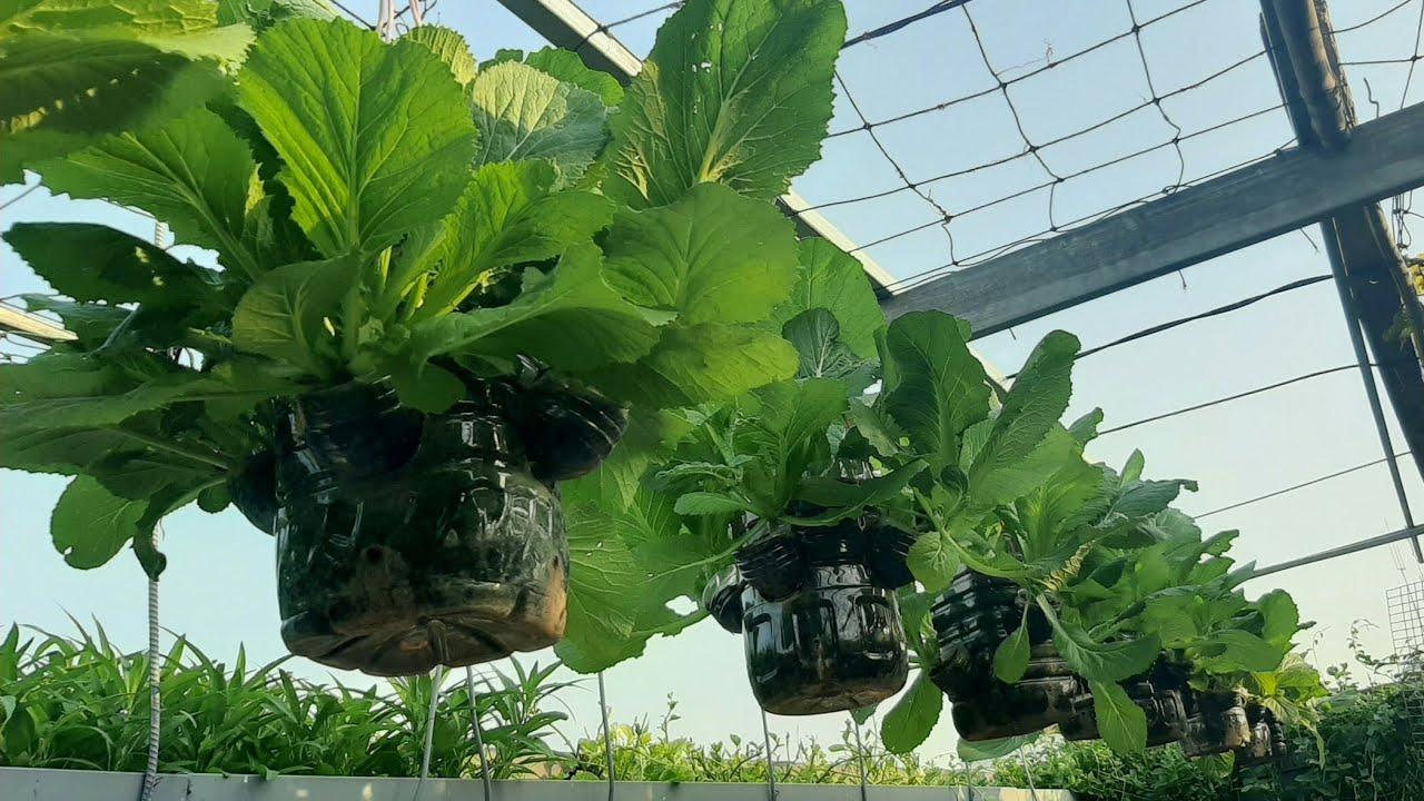 Vườn cải Bẹ Xanh treo trồng trong bình 5 lit , lá to xanh mướt , trên Sân Thượng | Khoa Hien 287