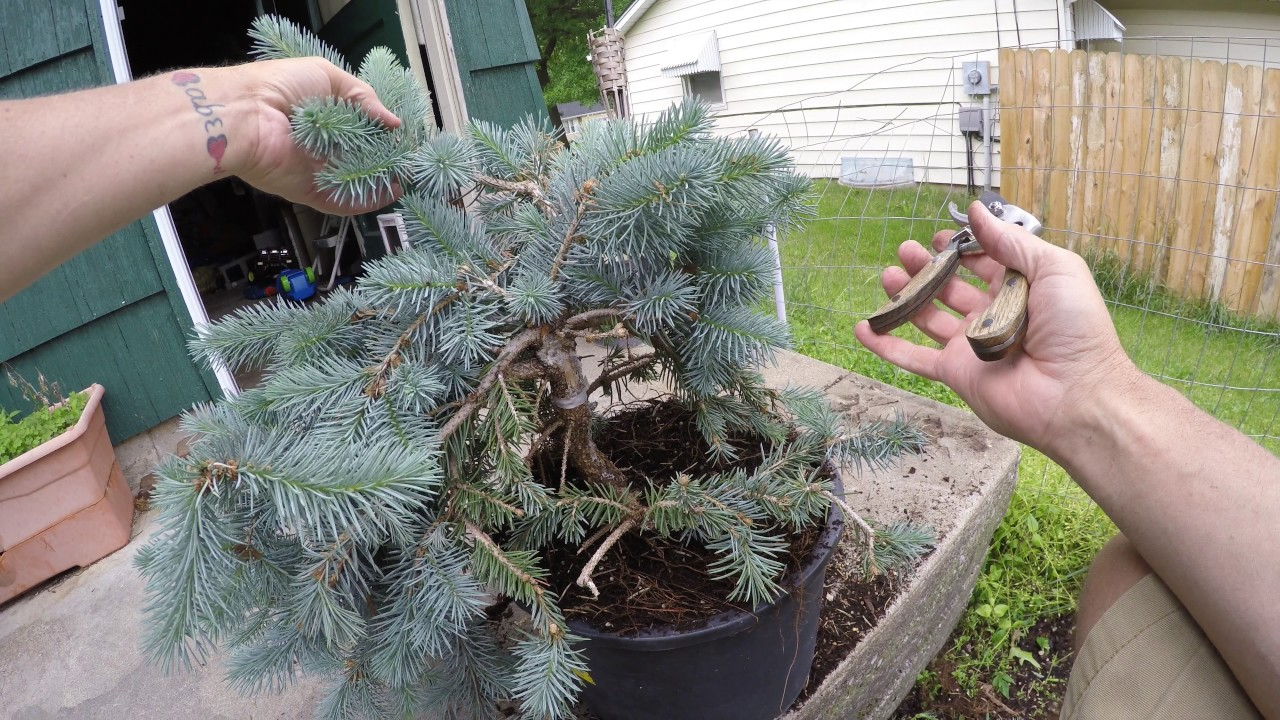 Blue Spruce Pruning First Work Towards Making A Bonsai Tree How To Youtube