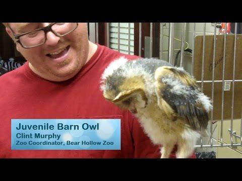 Feeding a Baby Barn Owl