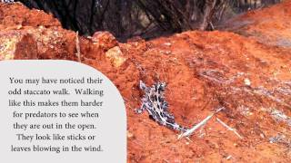 The Thorny Devil - A Short Introduction