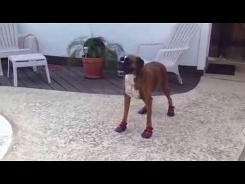 "Rescue boxer, Rocky & his new ""paw booties""…"