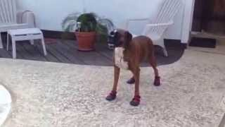 """Rescue Boxer, Rocky & His New """"paw Booties""""..."""
