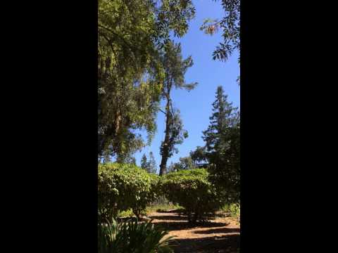Ouch!  #Tree getting slaughtered on the #SharonHeights golf course in #MenloPark, Ca!!!..
