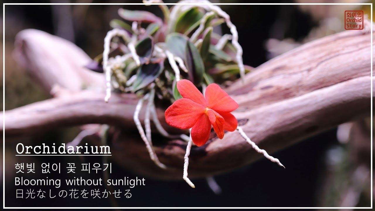 [Eng 日本語] Blooming without sunlight / 햇빛없이 꽃 피우기 / 日光なし花を咲かせる / Orchidarium / Sophronitis pygmaea