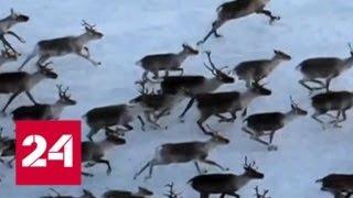 Смотреть видео Как браконьеры преодолевают полицейские кордоны? - Россия 24 онлайн