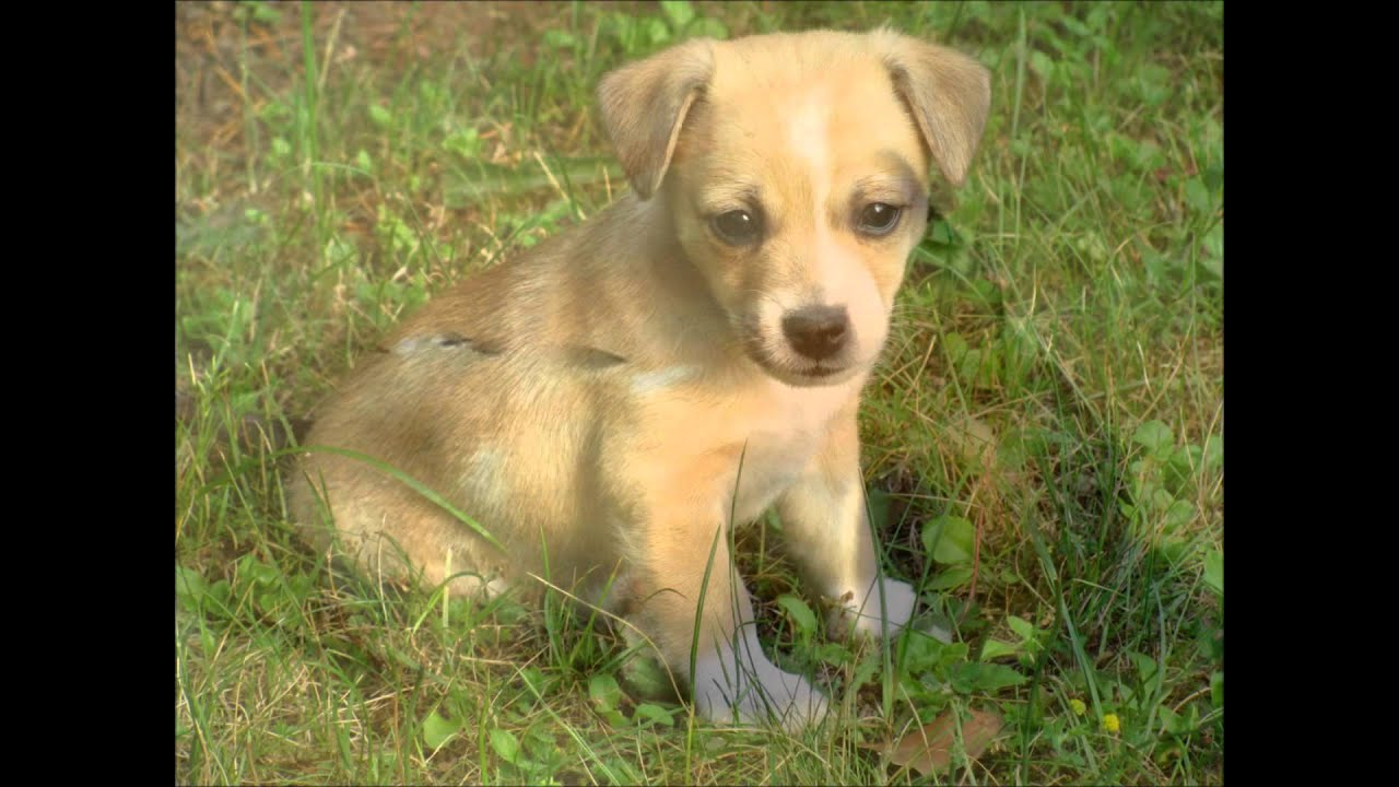 chiuaua jack russell terrier mix jack russel chihuahua mix puppy tricks youtube 2969