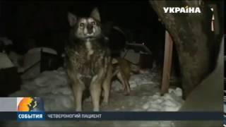 В Киеве раненая собака сама пришла за помощью в больничный травмпункт