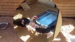 Мускусные утки (индоутки): место для купания