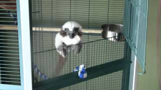 Roxie the Monkey In play mode(cotton Top Tamarin)