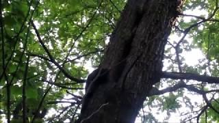 Лесной хорёк в нашем лесу