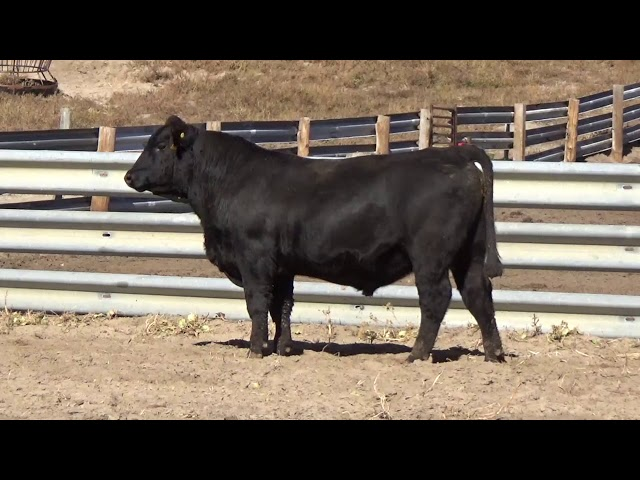 Connealy Angus Lot 160