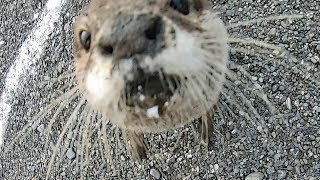 The otter swimming freely in the autumn river PartⅡ [Otter life Day 148] 秋の川を自由に泳ぐカワウソ