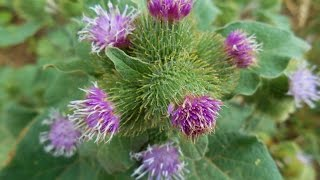 Wild Food : Greater Burdock (Arctium lappa)