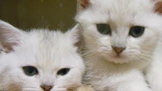 Британские короткошерстные зеленоглазые котята, шиншиллы серебристые