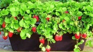 Saksıya çilek domates salatalık dikiyoruz