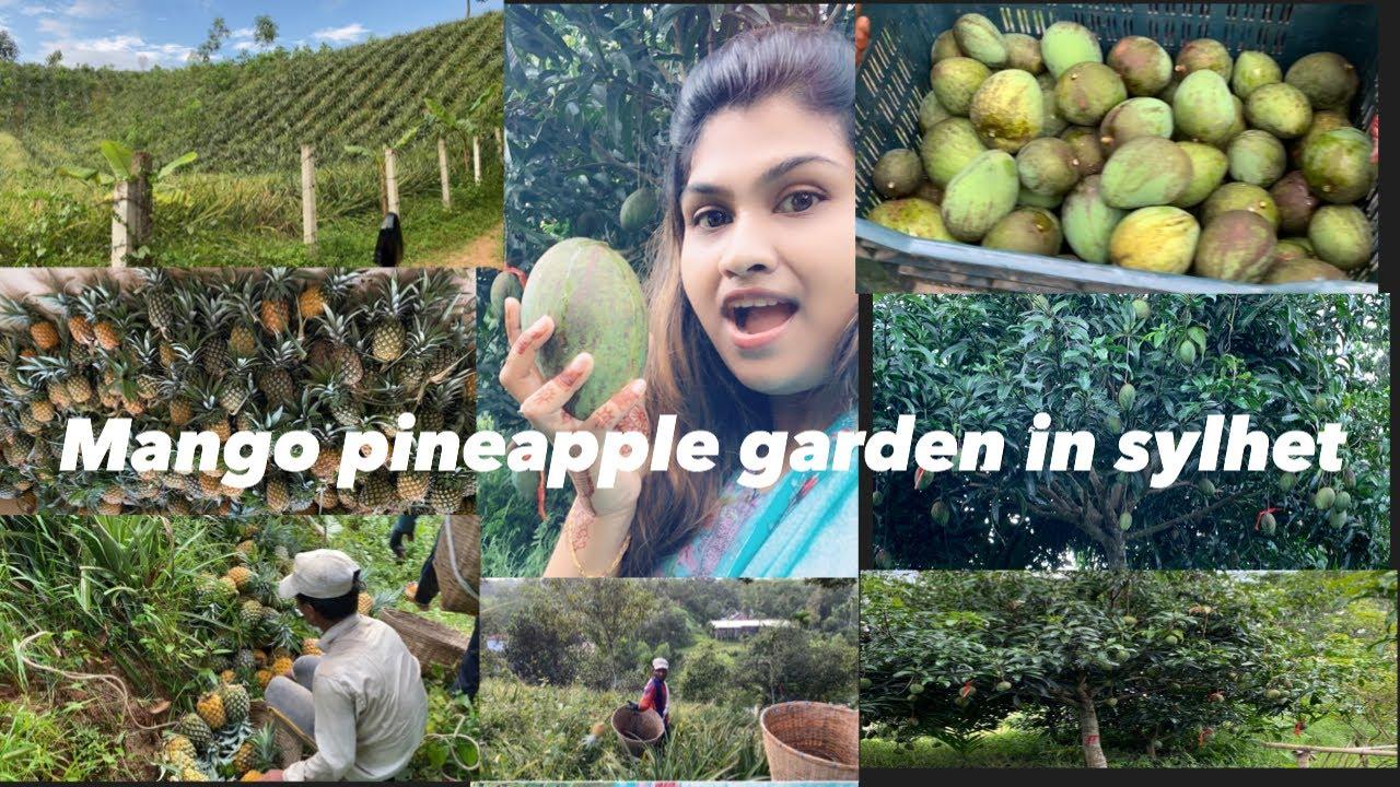 Mango & Pineapple Garden In Bangladesh,Sylhet Bangladeshi vlog sylheti vlog
