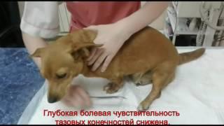 Клинический случай грыжи межпозвоночного диска у собаки по имени Тяпа.