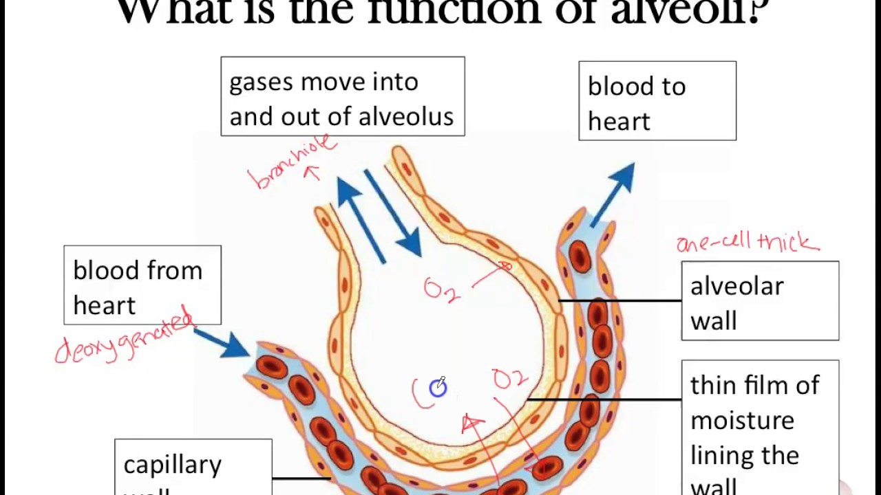 gas exchange part 2 awesome alveoli adaptations [ 1280 x 720 Pixel ]