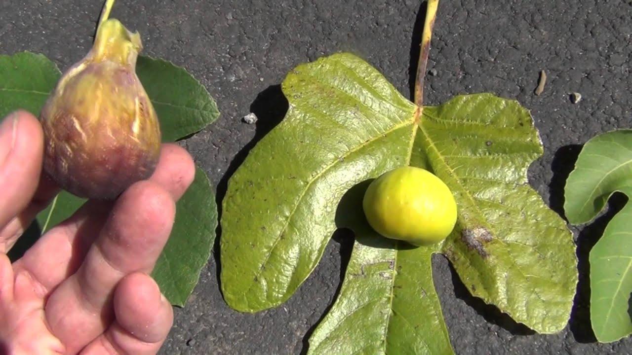 How To Identify Fig Varieties