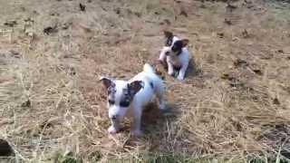 Rat Terrier Puppies! Roli Poli's Babies.