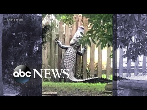 7-foot alligator scales backyard fence