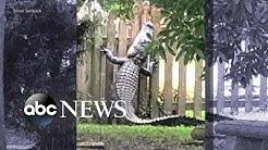 7-foot alligator scales backyard fence
