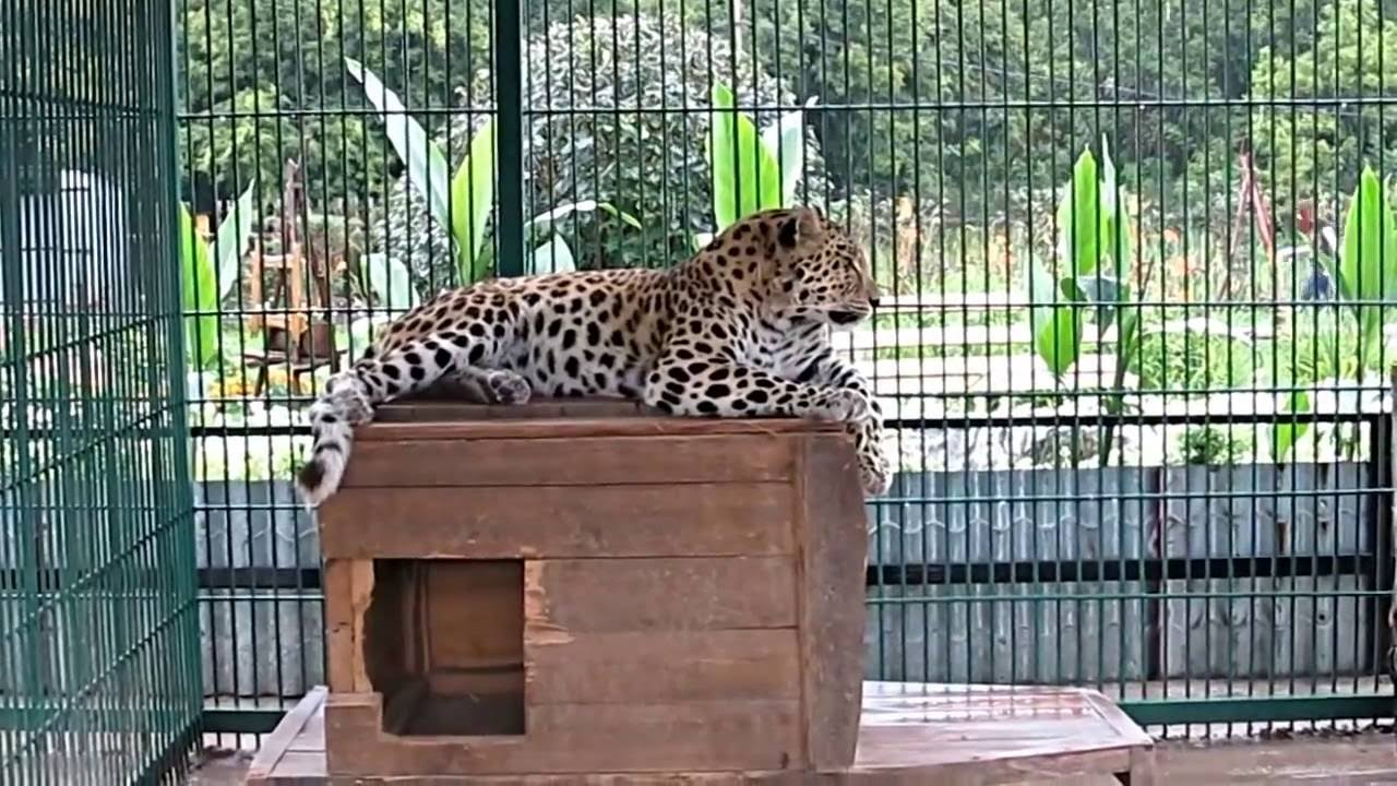 In the zoo in Barnaul, the tiger almost otgryz girls leg 04.04.2016