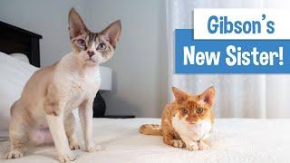 Gibson Gets a Sister: Devon Rex Kitten | Original Music