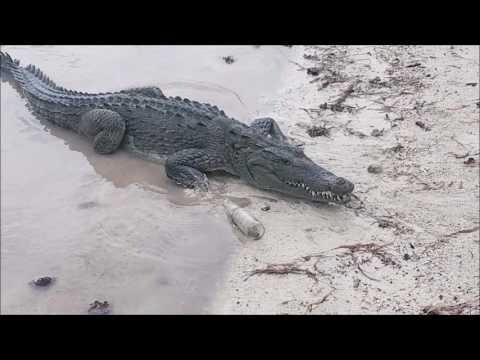Mexico - Atol Banco Chinchorro - American Crocodile