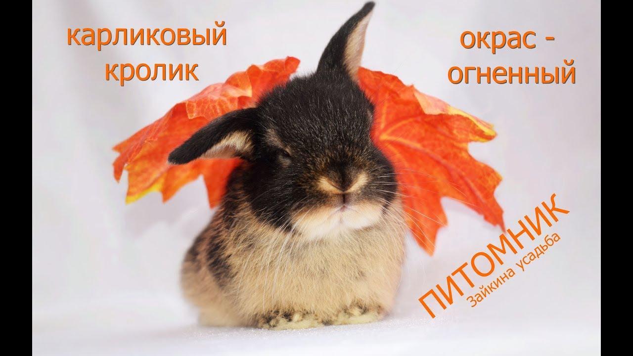 Кролик карликовый баран (nederlande hangoor dwerg) – декоративная порода. Купить кролика карликовый баран вы можете в специализированном.
