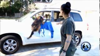 Bodyguard Dog Training - Instructional Dog Training Dvd #4