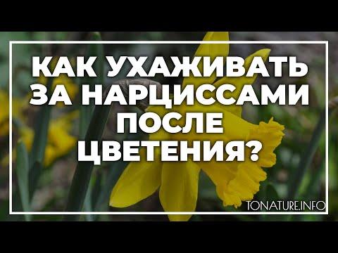 Как ухаживать за нарциссами после цветения?