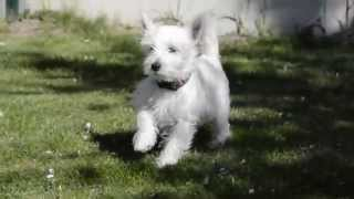 Westík-west Highland White Terrier