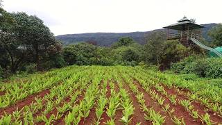 Sustainable, organic turmeric field with fun addition