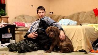 Русский мастиф (3мес.)-01