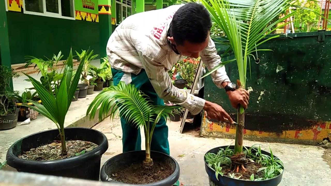 Cara Memperkedil Bakalan Bonsai Kelapa Dengan Teknik Tebas Batang
