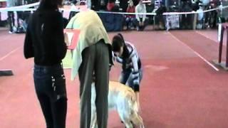 Выставка собак в Донецке 2010 11 06 111545