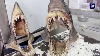 شاب يصطاد سمكةَ قرشِ ضخمةً في العقبة - (22-2-2018)