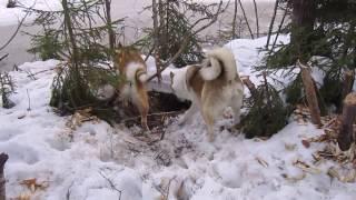 Собаки нервничают,бобёр погрыз деревья. Dogs are nervous, beaver chewed trees.